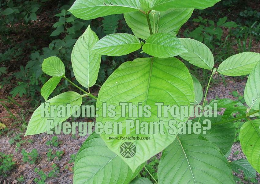 Kratom Plant Safe