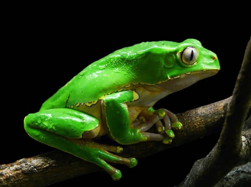 Kambo (Sapo) - The Frog Medicine