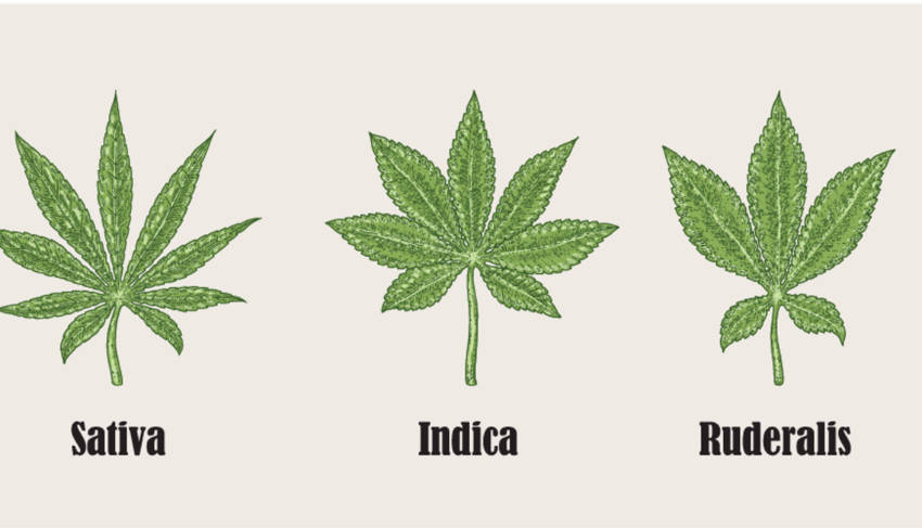 Cannabis Ruderalis The Overlooked Child of the Cannabis Family 1