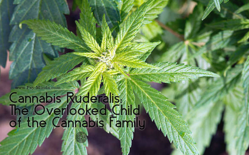 Cannabis Ruderalis The Overlooked Child of the Cannabis Family