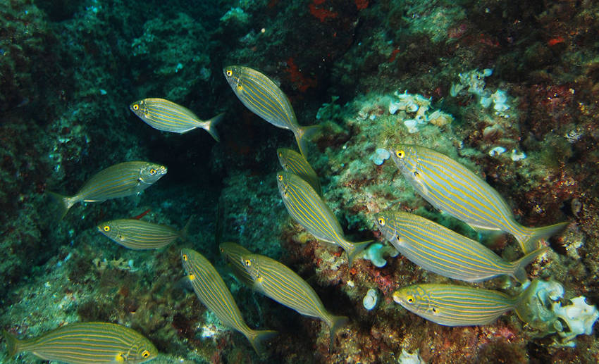 This Hallucinogenic Fish Was Used By The Romans As A Recreational Drug1
