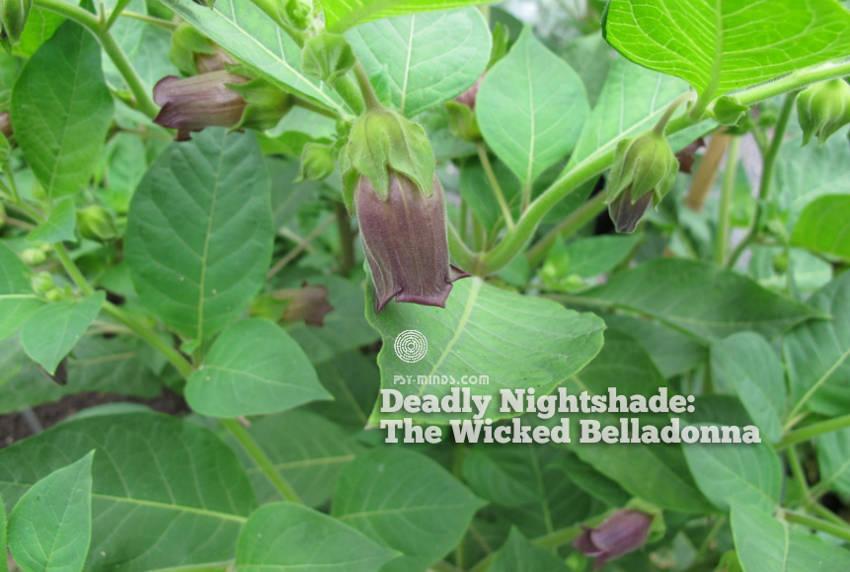 Deadly Nightshade The Wicked Belladonna2