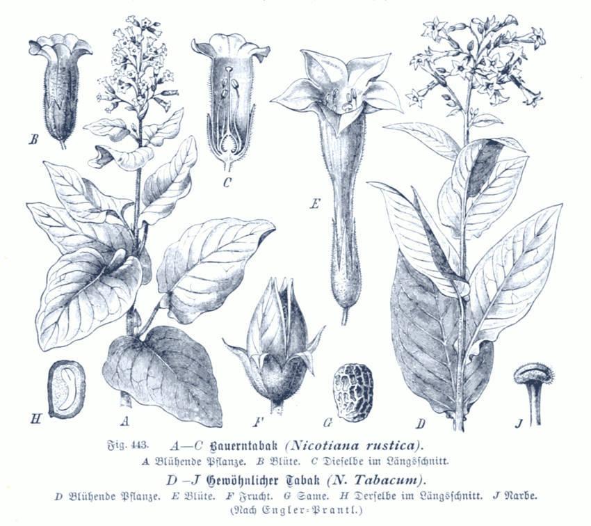 Tobacco Aboriginal Sacred Plant