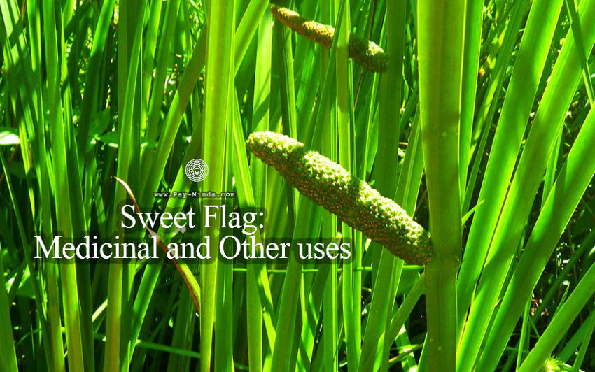 Sweet Flag Medicinal and Other uses