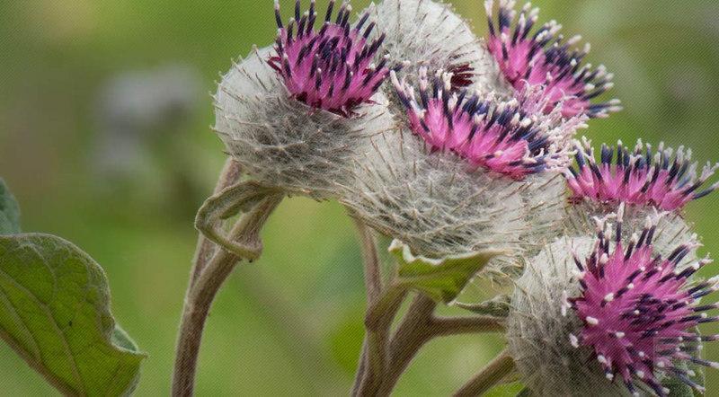 Burdock healing plants
