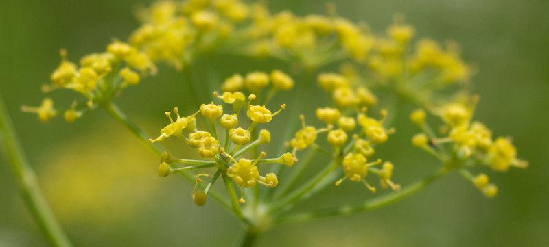 Fennel healing plants