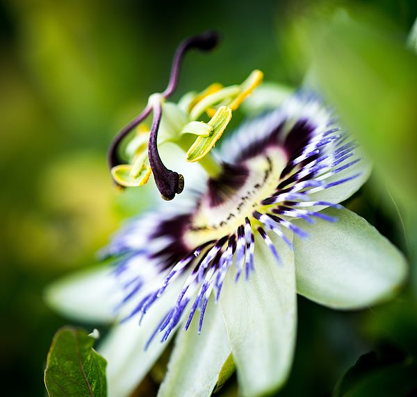 Passiflora Incarnata Can Help Us Relieve Anxiety and Sleep Disorders1