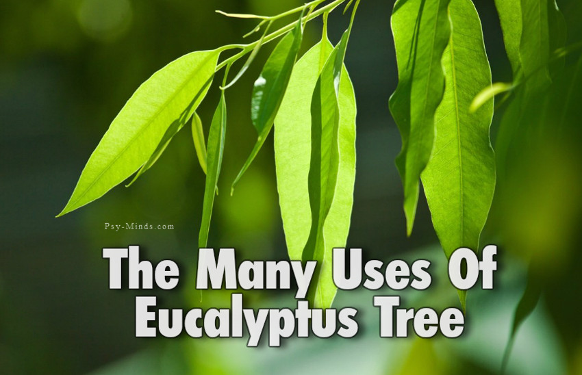 The Many Uses Of Eucalyptus Tree