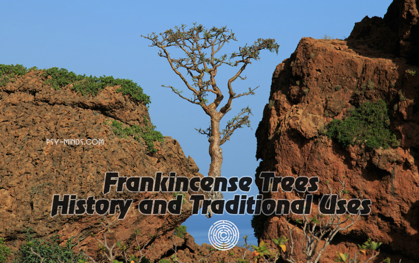 Frankincense Trees History and Traditional Uses ~ Psy Minds