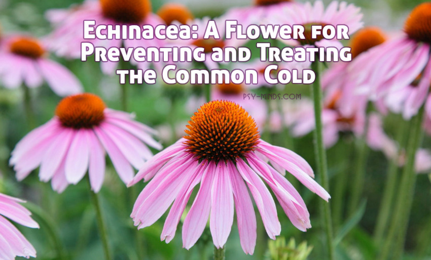 Echinacea A Flower for Preventing and Treating the Common Cold