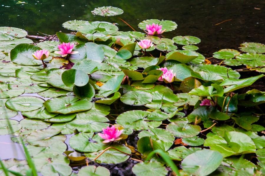 Lilie wodne na powierzchni jeziora