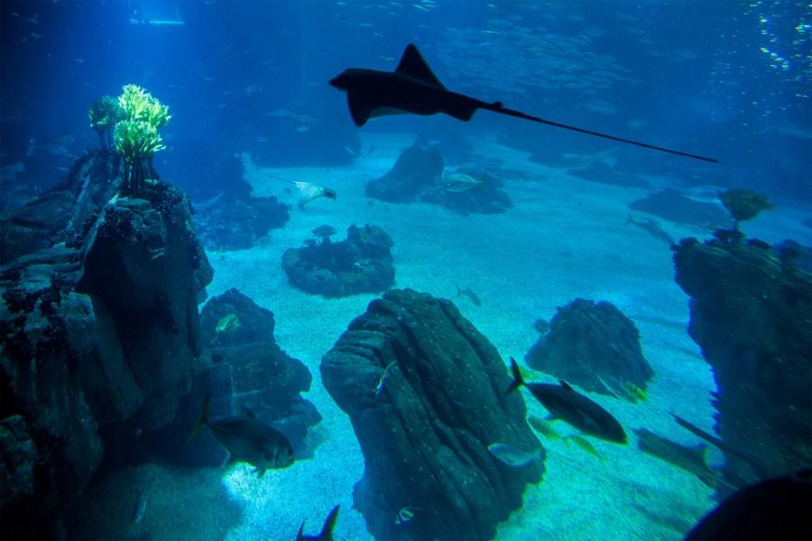 Płaszczka w ogromnym akwarium w oceanarium w Lizbonie
