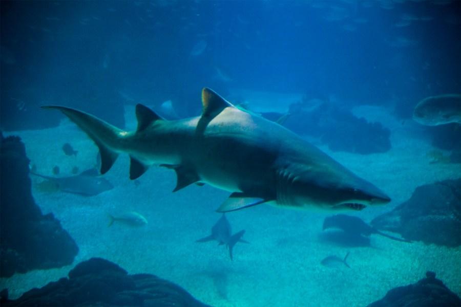 Jeden z rekinów żarłaczowatych