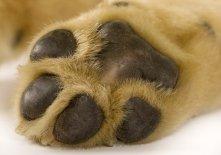 puppy labrador paw