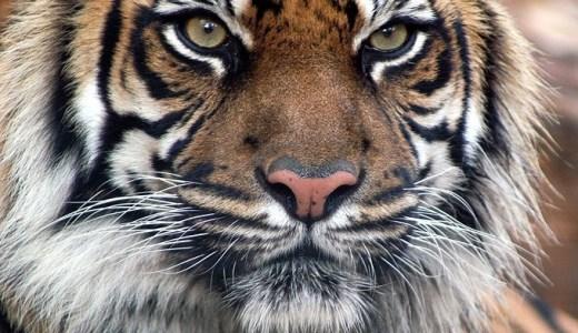 【夢占い】虎が暗示する重要なメッセージ