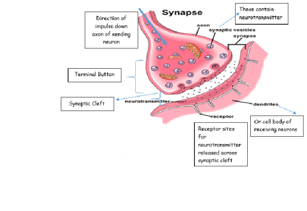 Labelling a Synapse
