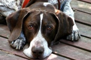 German Shorthaired Pointer ENFP