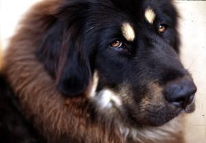 Tibetan Mastiff INFJ