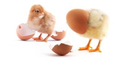 żółty kurczak i jajko