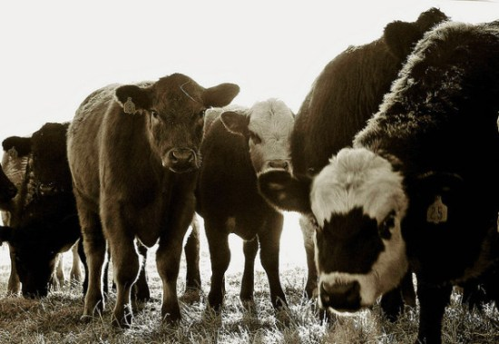 CJD is related to BSE in cattle; vCJD is a direct result of eating infected beef (© RTD Photography)
