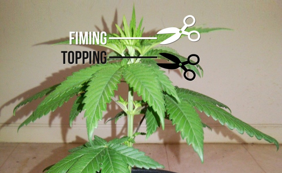 topping-fiming-sensiseeds