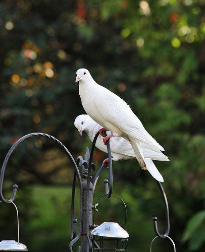 doves photo