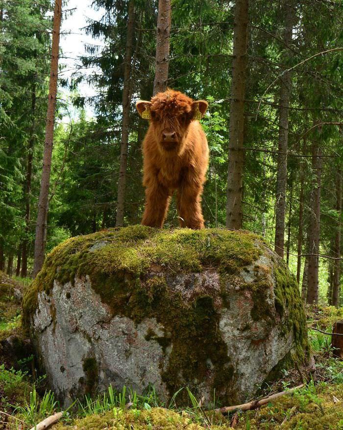 gado escocês