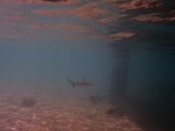 Tubarão de Ponta Preta