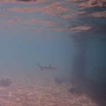 Tubarão Galha-preta