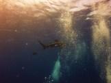 Tubarão Oceânico de Ponta Branca