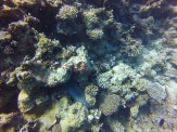 Moreia Gigante