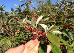 Gohi Berries