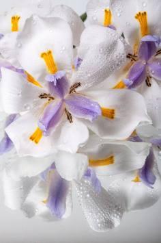 Iris africanos (Dietes iridioides),