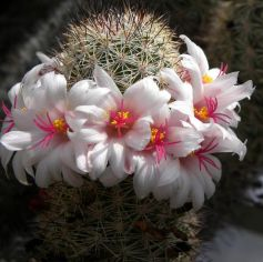 Mammillaria albicans