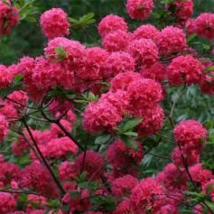 Rhododendron homebush