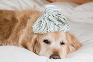 gripe canina