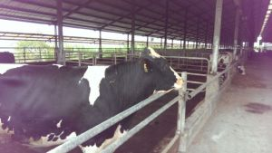 Farm insulation would optimize livestock diary output