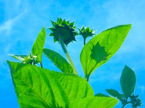【商用・改変・無料利用可】2018年6月24日 - 向日葵の蕾と青空
