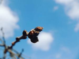 【商用・改変・無料利用可】2018年3月4日   桜の蕾と青い空