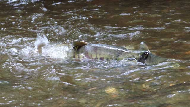 Chum salmon in Chimicum Creek. Photo by Joe Baier.