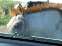 Foal trying to eat car