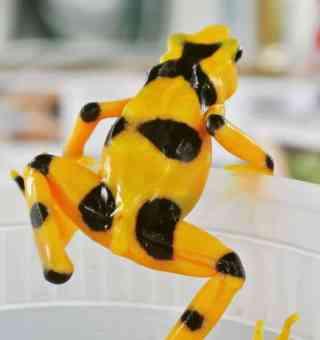 Golden Frog In El Valle de Anton, Panama