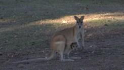 Känguru Mutter