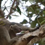 Freilauf Koala sehr Jung