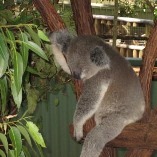 Koala II