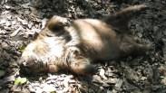 Wombat am pfussen