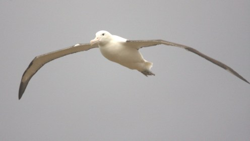 Albatrosse III