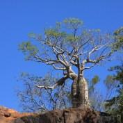 Boab-Tree / Flaschenbaum