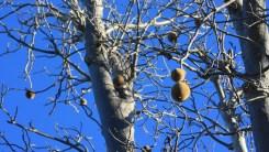 Boab Baum Frucht