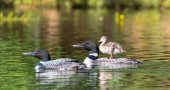 Empty-Nester Loons Adopt a Mallard Chick in Northern Wisconsin